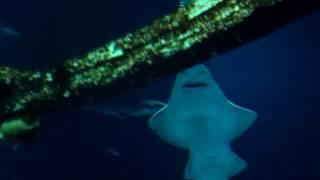 Mystery of Giant Saw shark