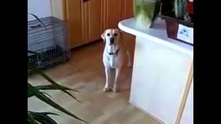 Приколы с животными  Такие смешные собаки! Смешно до слез!