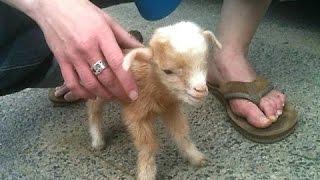 chèvres bébé mignon - un des chèvres mignonnes et drôles de bébé. Compilation | Nouveau, HD
