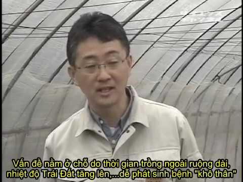 (Việt sub) Kỹ thuật trồng măng tây theo phong cách Nhật Bản