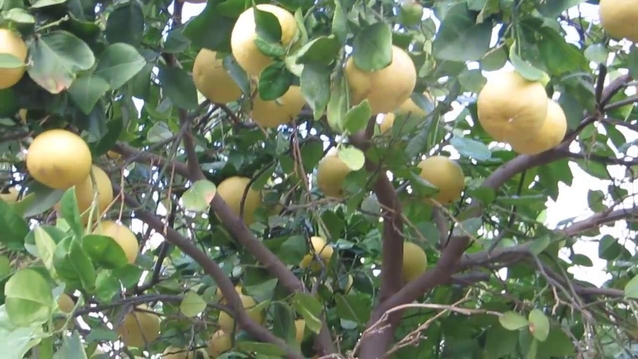 грейпфрут фото дерево