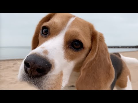 Cute beagle likes to sniff where other dogs have done their business