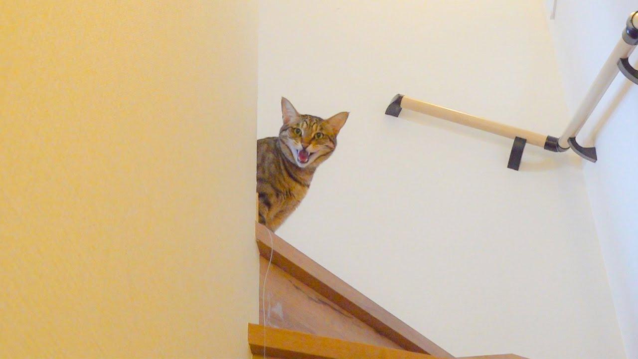 飼い主と目が会う度に泣き叫ぶ猫