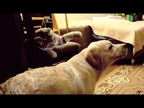 Dog plays fetch, cat plays with dog