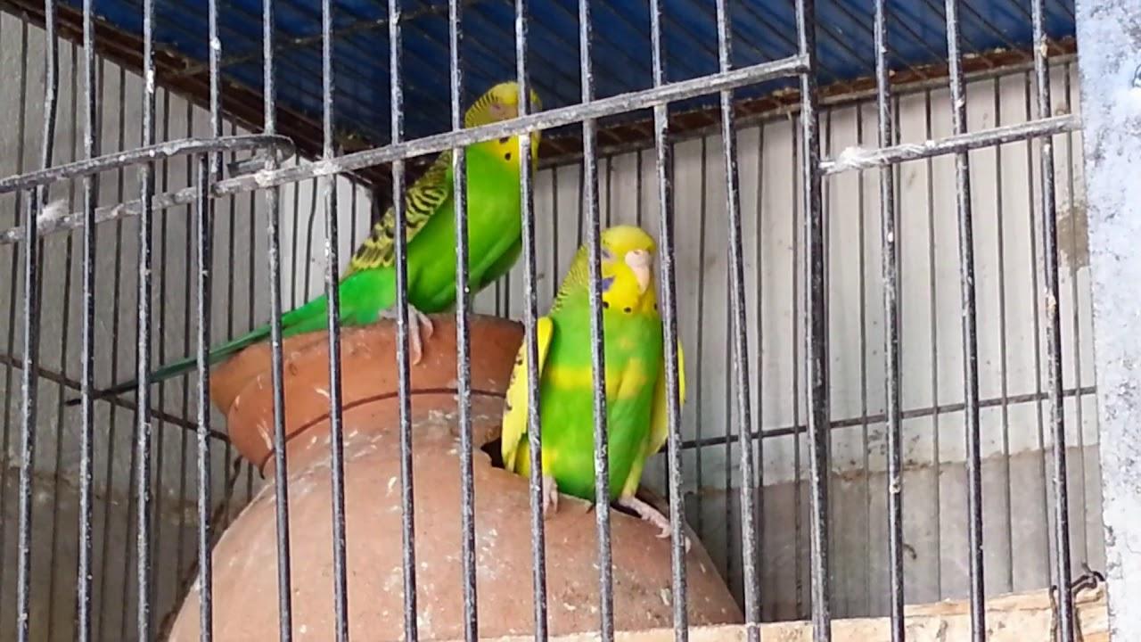 Australian Parrots Complete Breeding Tips Youtube