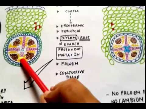 dicot stem diagram 2005 dodge ram wiring difference between & monocot roots (theory diagrams) - quick lectures youtube