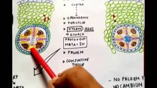 Difference between Dicot & Monocot Roots (Theory & Diagrams) - Quick Lectures