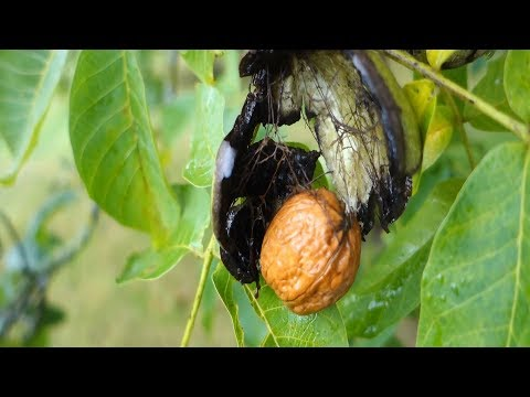Walnuts | How to Harvest, Store, Roast & Eat