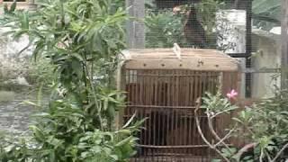 Suara Ayam hutan.MPG