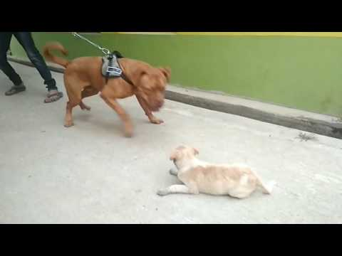 French mastiff dog playing her small street dog/ IN India