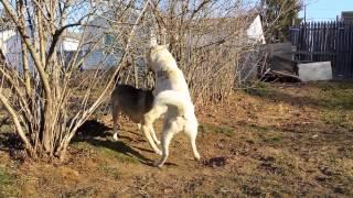 Nami (3 y/o sesame female) let's her pup, Fionna (7 m/o white femal...