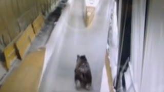 Видео с медведем на санно-бобслейной трассе было снято давно
