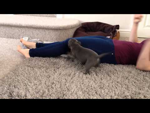 Blue Staffy puppy's reaction to new home