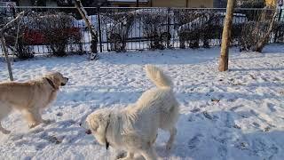 Maremma Sheepdog plays with Golden Retriever