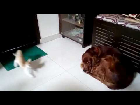 Little cat disturbing the dog