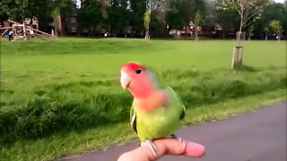 Love bird, Free flying Love bird