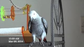 Parrot Jaco 3 month old 2014. Masha from Thailand part 4 ,попугай ЖАКО