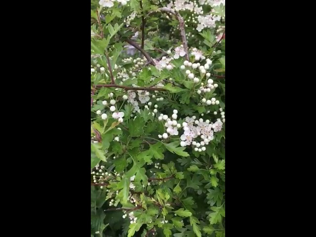 Dr Clare discovers the early hawthorn leaves and flowers