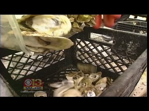 Baltimore Residents Can Now Recycle Oyster Shells