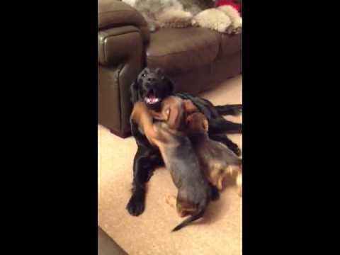 Flatcoated Retriever plays with Wire Dachshund puppies