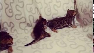 """Бенгальские котята - питомник кошек Lantana Fly  - бенгальские котята """"Cattery Bengal Cats"""""""