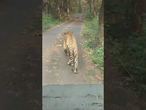 Live tiger in Mumbai aarey colony road made by ashraf