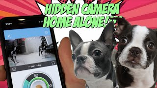 Boston Terriers HOME ALONE with Hidden Camera Treat Dispenser!