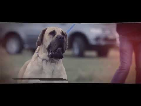 How to train a BOERBOEL dog