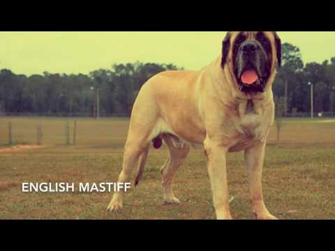Top 10 strongest mastiffs
