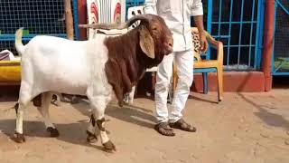 Biggest boer in INDIA