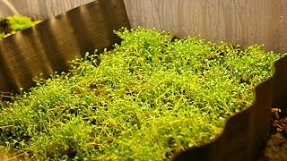 Growing Emersed Aquarium Plants Week 5