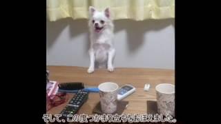 チワワの子犬のシオンです。 生後6ヶ月です。 好きな物 ポーロ 嫌いな...