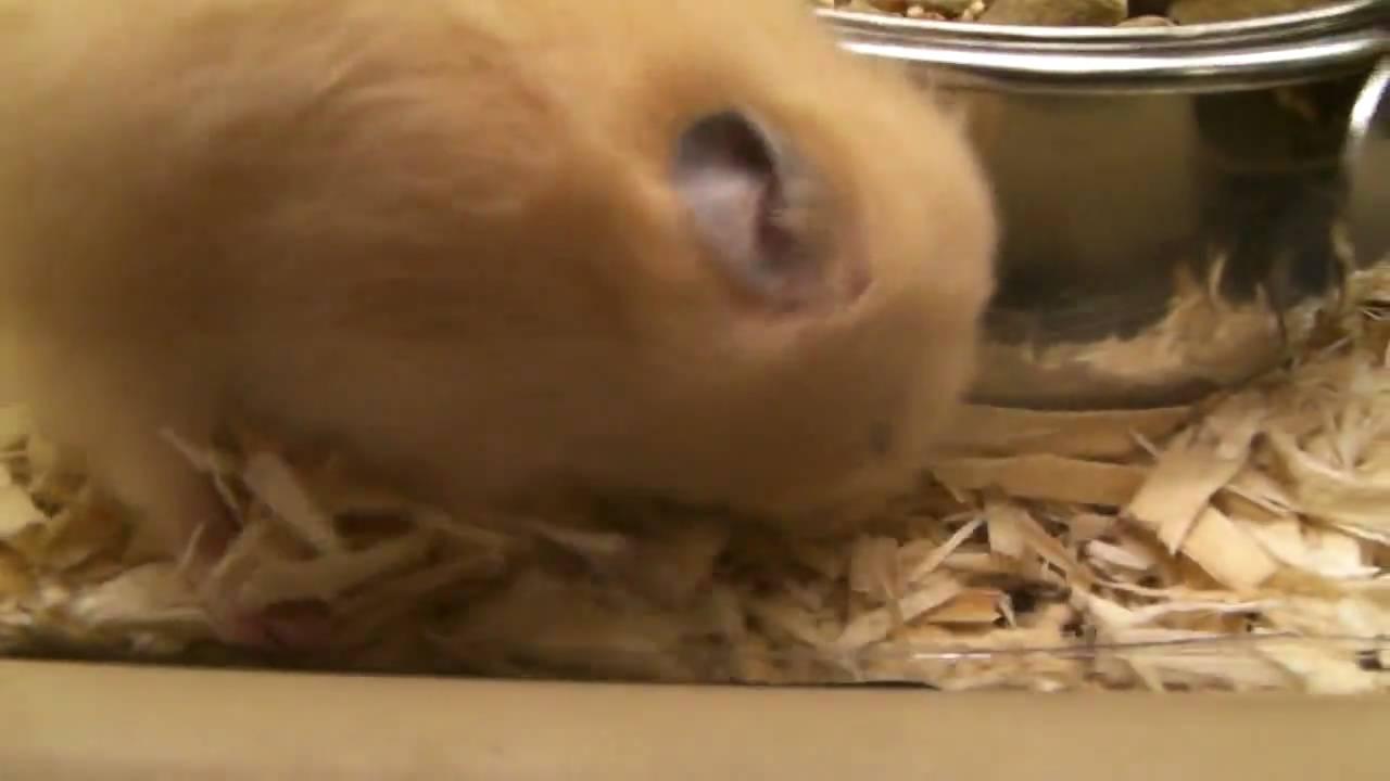 Teddy Hamsters At Petsmart