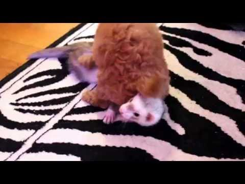 Gin the Puppy With Both of the Ferrets - Cute Animals Inside! VOL. 5