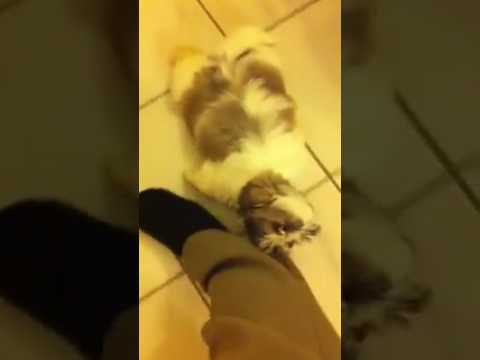 Shih Tzu Floor Cleaner