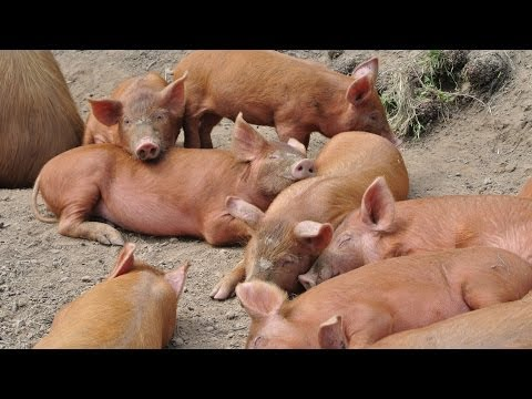 Schweinezucht in Oberkirch - Berkshire, Tamworth - Disturbed Cooking Ep. 113