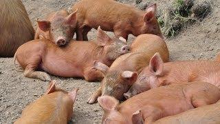 Schweinezucht in Oberkirch - Berkshire, Tamworth - Disturbed Cooking Ep. 113