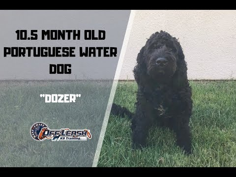 10.5 MONTH OLD PORTUGUESE WATER DOG 'DOZER' 2 WEEK BOARD AND TRAIN W/ ALYSSA