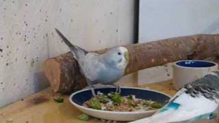Budgie is coughing