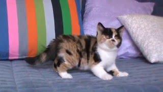 Bastet-a-tet Jessica (Британский котенок)