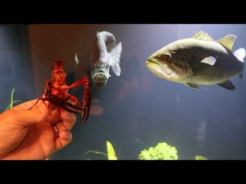 Pet Bass Vs. Giant Crawfish!!