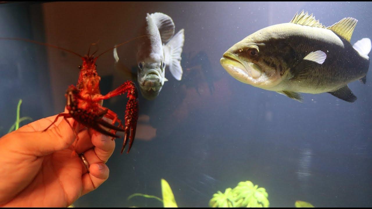 Pet crawfish