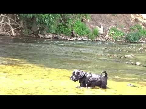AKC Portuguese Water Dog Puppy