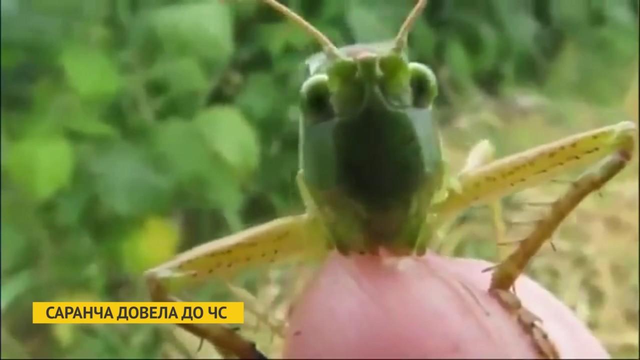 саранча фото зеленая