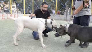 DOGO ARGENTİNO VS AMERİCAN BULLY
