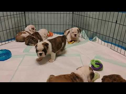English Bulldog Puppies - 6 Weeks Old