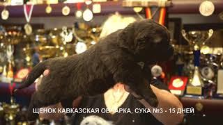 Питомник Кавказских овчарок. Щенки суки 15 дней. www.r-risk.ru +79262205603 Ягодкина Татьяна