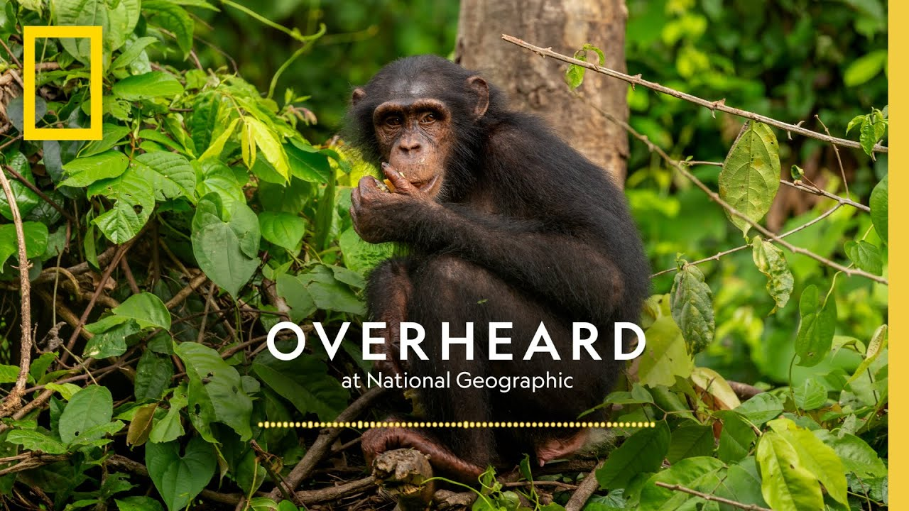 The Next Generation's Champion of Chimps | Podcast | Overheard at National Geographic