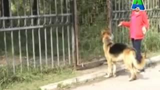 Телеканал Амурск - Краевая новость.Штрафы за нарушение правил содержания животных.