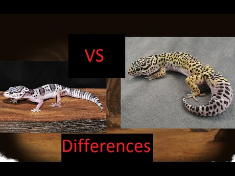 Mack snow vs Normal Leopard gecko differences